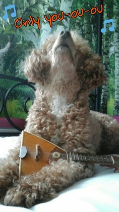 Only You     (tags: apricot fawn cute miniature poodle dog Leo Leonardo balalaika instrument music singing love song)