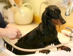 Grooming tips for you and your Dachshund