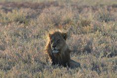 Lion in Etosha National Park - Namibia.