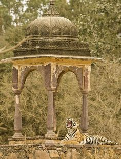 Ranthambore National Park  Rajasthan, India