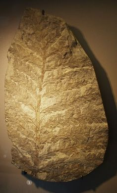 Fossil of Archaeopteris, an extinct plant. Musee d'Histoire Naturelle, Brussels, Belgium.