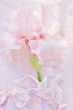 Pink iris, so lovely and soft.  #MillionDollarShoppersAndrea