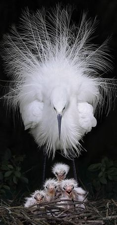 Little Egrets , from Iryna