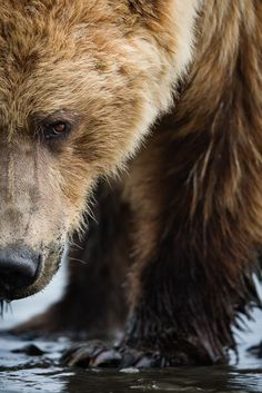 """""""Grizzly Close up. When the Grizzly is too busy looking for clams in the sand it might forget you. """", Brown Bear, Alaska by Brice Petit. Beautiful Creatures, Animals Beautiful, Cute Animals, Baby Animals, Baby Pandas, Wildlife Photography, Animal Photography, Wild Photography, Ours Grizzly"""