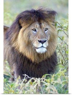 Black maned lion