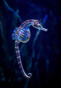 Seahorse by chrismolbech fond-marin-hippocampe-bleue-au-fond-de-la-mer. Beautiful Sea Creatures, Deep Sea Creatures, Animals Beautiful, Under The Water, Under The Sea, Underwater Creatures, Underwater Life, Underwater Animals, Tier Zoo