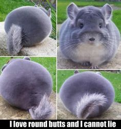 A Cute Chinchilla With Round Butt.