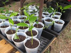 Propagating Gardenias