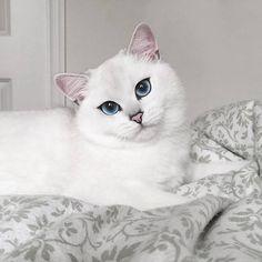 Coby é um gato branco da raçabritish shorthair que tem conquistado milhares de fãs na internet devido ao seu olhar sedutor.Os lindos olhos azuis do bichano...
