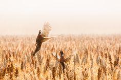 Pheasant in South Dakota