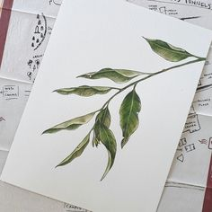 A watercolor painting of Eucalyptus leaves.