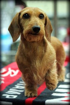 Is this not one of the cutest little faces ever??? Wishing I had a dog again! #dachshund