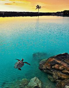 Turtle swimming at sunset,  Pu'u Wa'awa'a Ahupua'a, Kailua Kona, Hawaii. #turtle #sunset #Hawaii