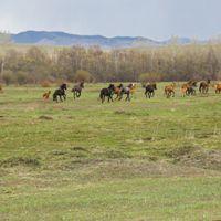 Manada de caballos de Jakasia corriendo por la estepa siberiana.