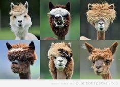 Llamas's hair cut  fashion style