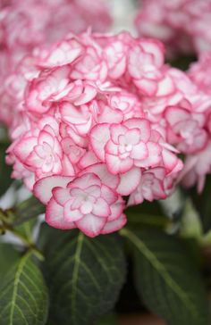 Hydrangea macrophylla 'Miss Saori': this gorgeous and unusual double-flowered pink and white hydrangea won Plant of the Year at Chelsea 2014. Discover more beautiful hydrangea: http://www.gardenersworld.com/plants/search/name/hydrangea/ Photo by Jason Ingram