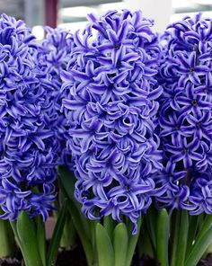 Blue Hyacinth Landscaper Special