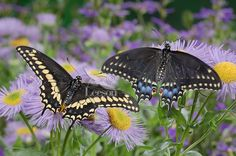 swallowtail butterfly | Eastern Black Swallowtail Butterfly (Papilio polyxenes asterius) male ...