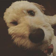 Wait what do you mean it's not Friday yet #goldendoodlesofinstagram #goldendoodle #livingfortheweekend #doodle #doodlelove #clubdoodle #bestwoof #ruffpost #topdogphoto #lacyandpaws #buzzfeedanimals #photos4ellen #doodletales #dogsofinstagram #excellent_dogs #dogsofinstagram #myoklahoma by alan_goldendoodle