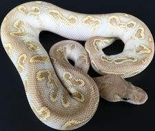 120 Best ball pythons images in 2018 | Ball python, Python