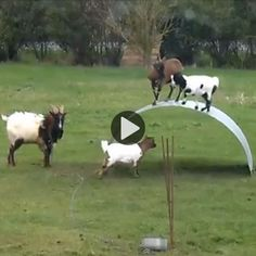 Watch Goats Playing Rambunctiously On Steel Ribbon (Video) - Homesteading and Livestock - MOTHER EARTH NEWS
