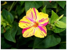 Heirloom 50 Seeds Mirabilis jalapa Four O'clock Beauty of the Night Two-toned Flower Seeds from seedsshop on Etsy. Saved to garden.