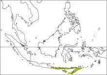 Indonesian Honeyeater (Lichmera limbata)