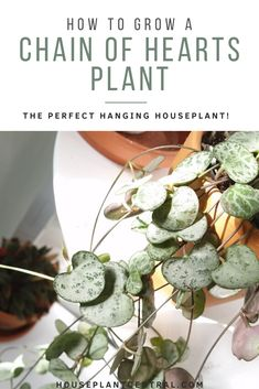 Looking for the ideal hanging plant? The chain of hearts is sure to cheer up any room and super easy to grow indoors. Hanging Succulents, Hanging Plants, Succulents Garden, Indoor Plants, Pot Plants, Chain Of Hearts Plant, Hardscape Design, House Plant Care, Hardy Plants