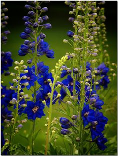 ~~The summer fantasy | Delphinium by jvaiba~~