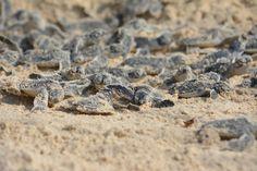 11 novembre 2013, Chale Kenya: delle piccole creature escono dal buio più profondo del loro nido… (Foto di Paolo Bonvini)