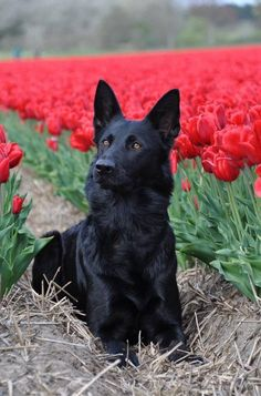 Black GSD with red tulips.