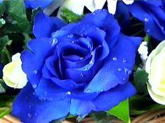 Annuals   Blue Rose   HomeGardenandYou.com