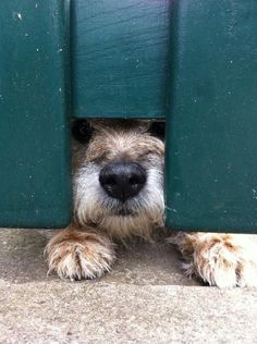If you lose your dog there are steps you can take to make sure youre quickly reunited. If you lose your dog there are steps you can take to make sure youre quickly reunited. Cute Puppies, Cute Dogs, Dogs And Puppies, Doggies, Border Terrier Puppy, Airedale Terrier, Cute Funny Animals, Funny Dogs, Brown Dog