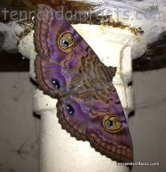 Granny's cloak Moth, Pipe, Laundry, Four, Two Spots, Purple, Orange, Ten Random Facts, Bug, Insect, Spread, rest, Ten Random Facts
