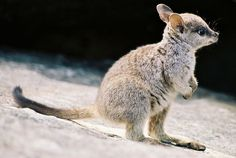 I'm gonna wallaby my way into your heart.