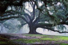 Rain tree = monkey pod tree