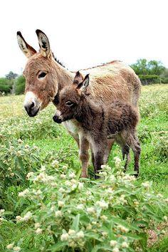 Momma and baby donkey.