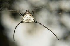 Long-horned Orb-weaver Spider (Macracantha arcuata)