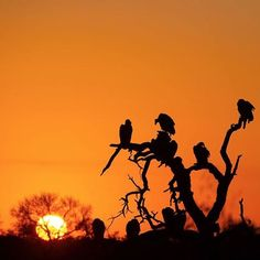 Vultures resting after feasting on a hippo carcass. Over 100 vultures joined the feast including the hooded vulture white-backed vulture white-headed vulture and lappet-faced vulture. by Ranger . Vulture, African Safari, Lodges, Wilderness, Ranger, Stained Glass, Wildlife, Rest, Birds