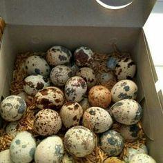 Telur puyuh fresh murah 1 box isi 50 biji