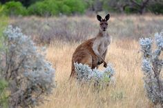 Picture of a kangaroo on the plains in Gawler Ranges, South Australia