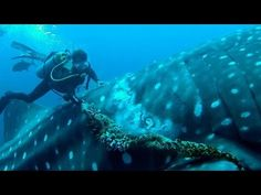 Diver Frees Whale Shark From Fishing Rope Noose