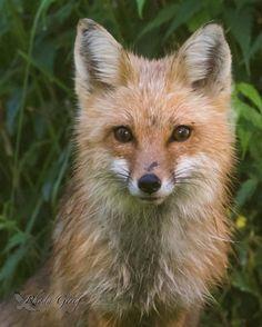 Red Fox by Rhoda Gerig