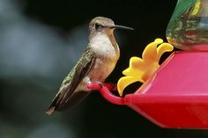 Hummingbird.  Female takes a break.