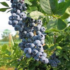 """Die Heidelbeere """"Duke"""" hat große Früchte in einer dunkelblauen Farbe, hellblauer Bereifung und hellem Fruchtfleisch. Sie sehen aus wie Bickbeeren (wilde Heidelbeeren, Waldbeeren), sind aber wesentlich größer. Der Geschmack dieser Heidelbeeren ist umwerfend.Die selbstfruchtende Heidelbeere """"Duke"""" wird 120-150 cm hoch und bevorzugt wie alle Heidegewächse sauren, humosen Boden, der stark torfhaltig ist. Bitte vermeiden Sie kalkige und frisch gedüngte Böden, da Heidelbeeren di..."""