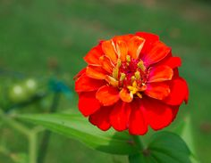 zinnia-red @Botanical Interests Cut  Come Again Zinnias - love these!