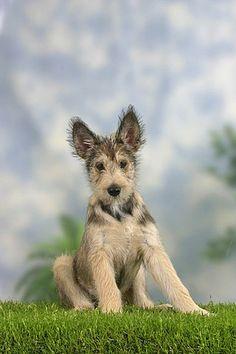 Berger Picard, puppy, 14 weeks / Berger de Picardie