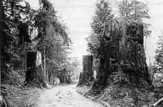 Magnolia Boulevard near Fort Lawton, circa 1900, when it was just a bicycle path.  Approximately 20 years after clearcut.