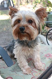 Statewide and National, TX - Yorkie, Yorkshire Terrier purebred. Meet Rex, a 6 year old dog for adoption, good with dogs and cats. http://www.adoptapet.com/pet/12604098-statewide-and-national-texas-yorkie-yorkshire-terrier