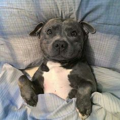 12 Realities That New Staffordshire Bull Terrier Owners Must Accept
